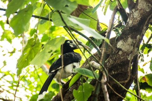 If you are lucky, you will see a hornbill up in the trees